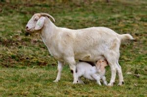 Goats, a baby and an adult